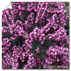 Bruyère d hiver rouge Erica